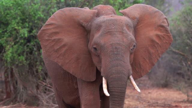 stockvideo's en b-roll-footage met african elephant, zimbabwe - neus van een dier