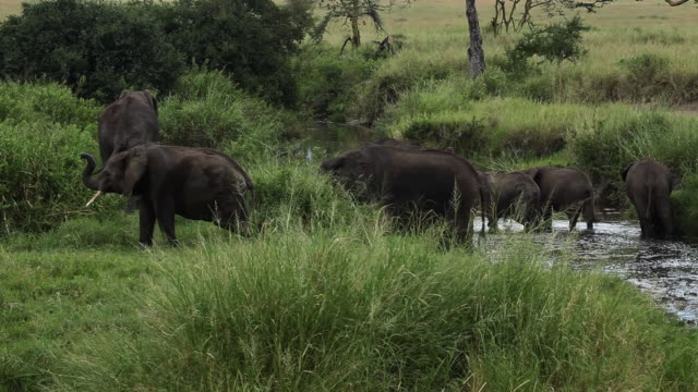 african elephants- adult females and babies near the river - medium group of animals stock videos & royalty-free footage