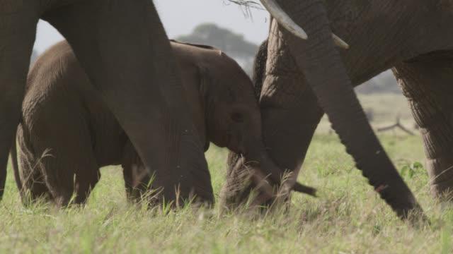African elephants (Loxodonta africana) and calf on savannah, Kenya
