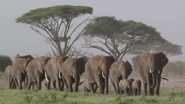 vídeos de stock, filmes e b-roll de african elephants (loxodonta africana) and calves walk on savannah, kenya - elefante