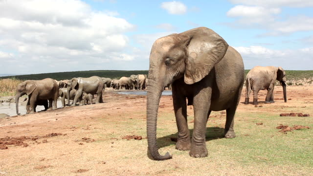 african elephants (loxodonta africana) at waterhole, addo elephant national park, southern cape, south africa - southern africa stock videos & royalty-free footage