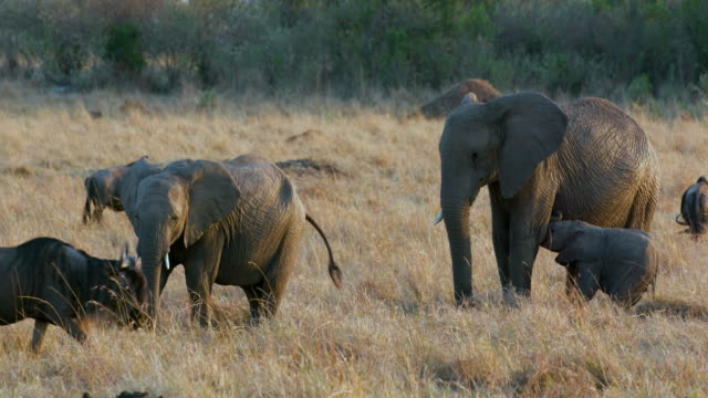 african elephants  calf & blue wildebeest maasai mara  kenya  africa - defecating stock videos and b-roll footage