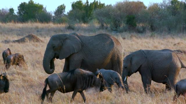 African Elephants  Calf & Blue Wildebeest Maasai Mara  Kenya  Africa