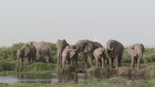 African elephants (Loxodonta africana) drink from water hole, Kenya