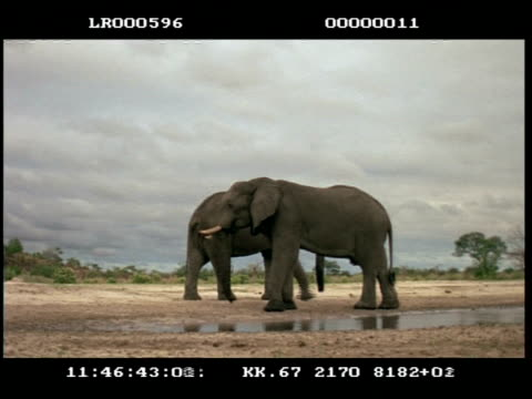ms 2 african elephants (loxodonta africana) drinking at waterhole - subordination stock videos & royalty-free footage