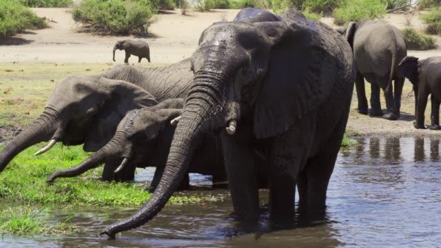 vidéos et rushes de african elephants drinking water chobe national park - eau potable