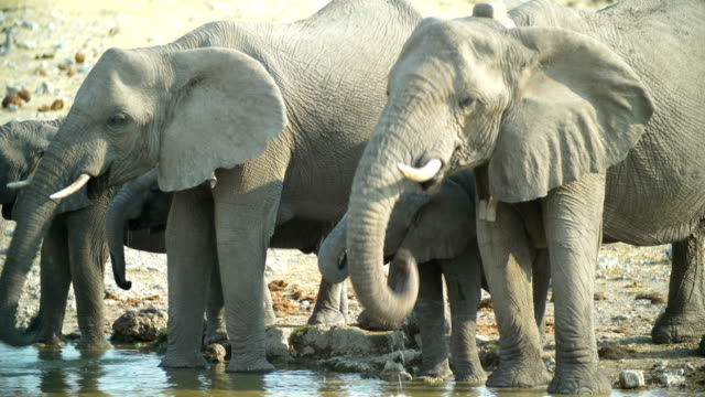 MS African Elephants drinking water in savannah / Namibia