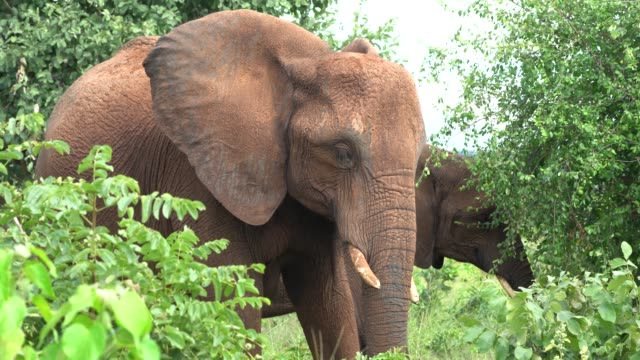 african elephants eating leaves in a green forest near lake kriba, zimbabwe - zimbabwe stock videos and b-roll footage