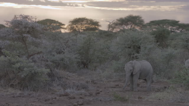 ms african elephants eating plant / kenya - zoology stock videos and b-roll footage