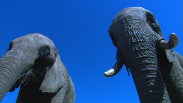 stockvideo's en b-roll-footage met la cu 2 african elephants feeding directly over camera  - laag camerastandpunt