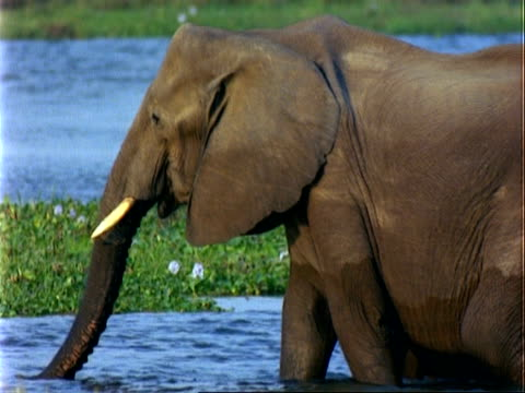 african elephants, cu female adult and baby wade through river, drinking as they go, zoom out to more elephants by river - 厚皮動物点の映像素材/bロール