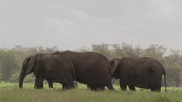 African elephants (Loxodonta africana) graze in rain, Kenya