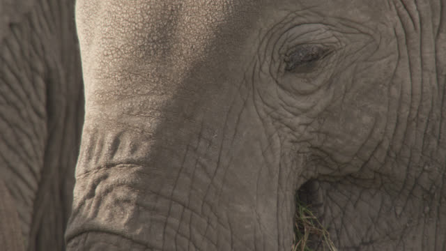 African elephants (Loxodonta africana) graze on savannah, Kenya