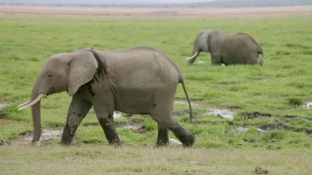 MS PAN African Elephants grazing grass / Kenya