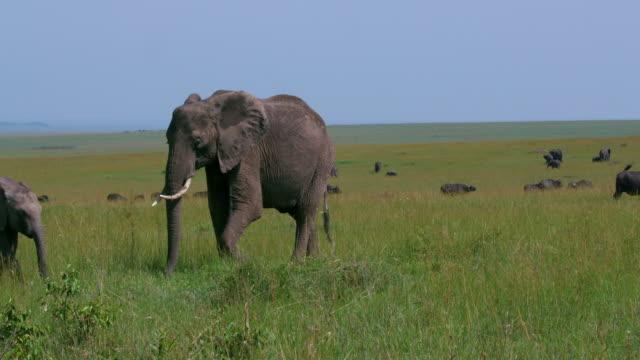 stockvideo's en b-roll-footage met african elephants grazing, masai mara, kenya, africa - neus van een dier