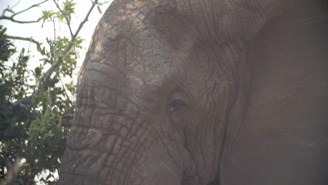 CU African elephant's (Loxodonta africana) head / Kruger National Park/ Mpumalanga/ South Africa