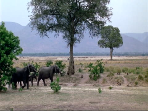 vidéos et rushes de african elephants (loxodonta africana) - ms herd of elephants walking, running as group to scare off pack of wild dogs, mana pools, zimbabwe - répandre