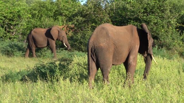 african elephants in lake kriba, zimbabwe - zimbabwe stock videos and b-roll footage