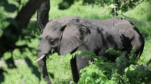 african elephants in majete wildlife reserve in the shire valley, malawi. - naso di animale video stock e b–roll