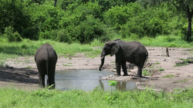 african elephants in majete wildlife reserve in the shire valley, malawi, coating themselves with mud as a sunscreen and insect repellent. - spraying stock videos & royalty-free footage