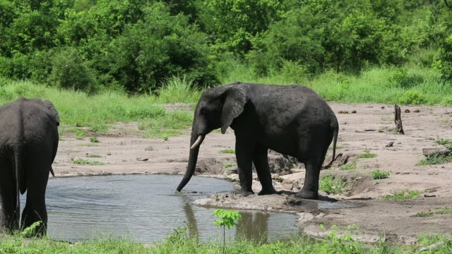 African Elephants in Majete Wildlife Reserve in the Shire Valley, Malawi, coating themselves with mud as a sunscreen and insect repellent.
