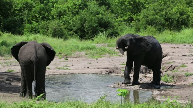 vidéos et rushes de african elephants in majete wildlife reserve in the shire valley, malawi, drinking. - plan d'eau