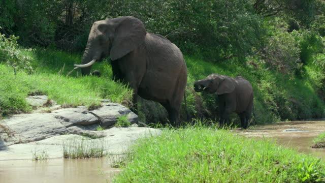 african elephants in talek river maasai mara, kenya, africa - ケニア点の映像素材/bロール