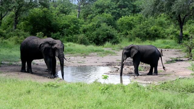 african elephants, malawi - 虫除け点の映像素材/bロール