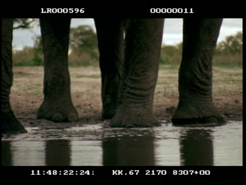cu 2 african elephants (loxodonta africana) of trunks splashing around at waterhole, feet - tierische nase stock-videos und b-roll-filmmaterial