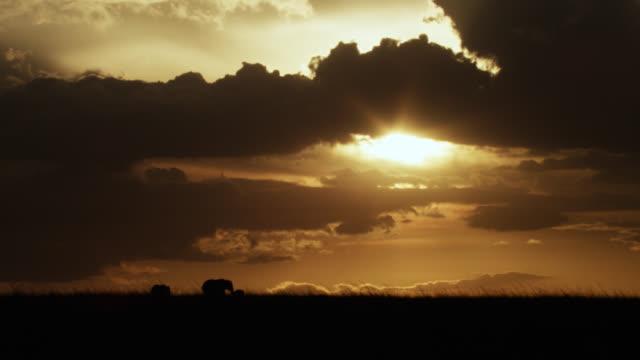 african elephants (loxodonta africana) on savannah at sunset, kenya - 平地点の映像素材/bロール