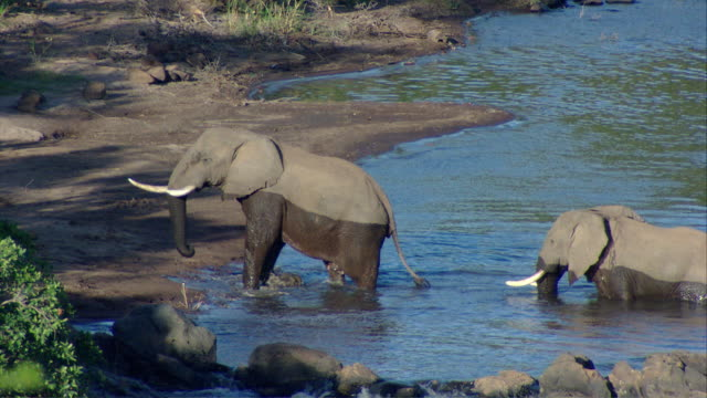 MS African elephants reach other side of river and exiting / Kenya