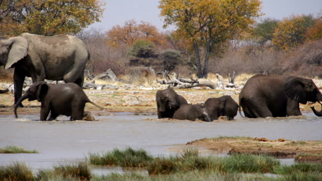 ms ts african elephants refreshing at water hole / namibia - pond stock videos & royalty-free footage