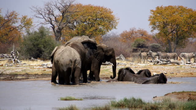 ms african elephants refreshing at water hole / namibia - steppenzebra stock-videos und b-roll-filmmaterial