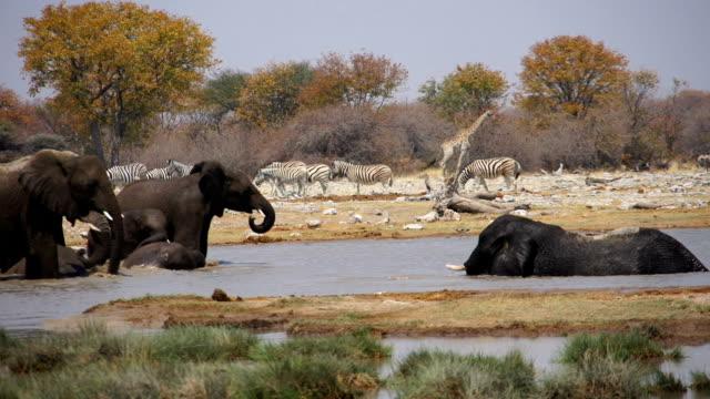 vídeos de stock e filmes b-roll de ms african elephants refreshing at water hole / namibia - savana