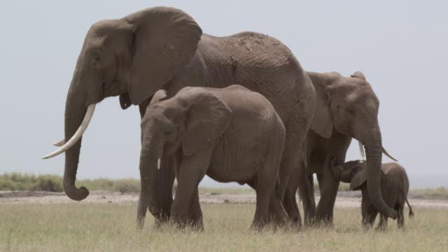 African elephants (Loxodonta africana) rest on savannah in heat haze, Kenya
