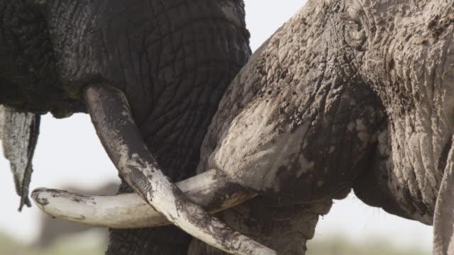 African elephants (Loxodonta africana) rub trunks and tusks together, Kenya