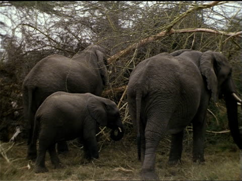 african elephants stand around tree branches foraging for food. - foraging stock videos & royalty-free footage