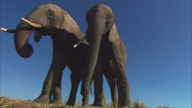 stockvideo's en b-roll-footage met la ms 2 african elephants standing on edge of riverbank - laag camerastandpunt