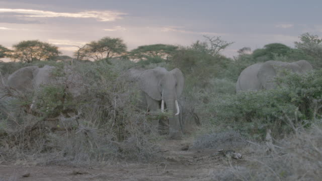 ms pan african elephants standing on savanna landscape / kenya - zoology stock videos and b-roll footage