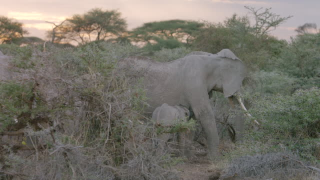 ms african elephants standing on savanna landscape / kenya - zoology stock videos and b-roll footage