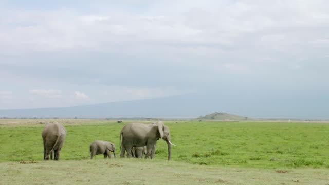 ws td african elephants standing on savanna landscape / kenya - ケニア点の映像素材/bロール