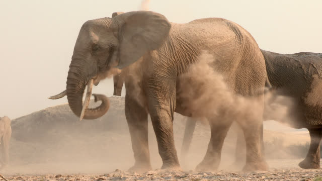 african elephants take dust baths in a dry riverbed. - elephant stock videos & royalty-free footage