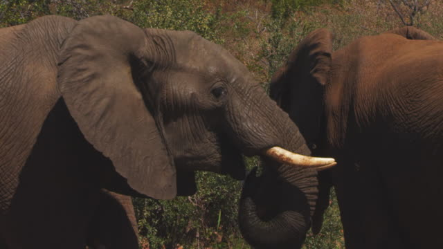 cu 2 african elephants td to trunk as one drinks - harare stock videos and b-roll footage