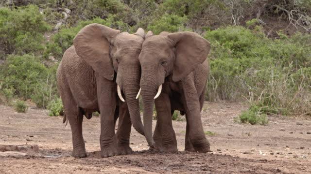 vídeos y material grabado en eventos de stock de african elephants - two young bull elephants - tuskers - side by side - socializing - protección de fauna salvaje