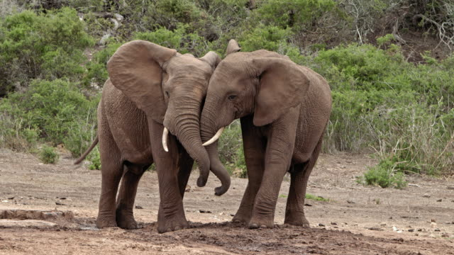 vídeos de stock, filmes e b-roll de african elephants - two young bull elephants - tuskers - side by side - hugging - elefante