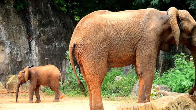 vidéos et rushes de éléphants d'afrique - éléphanteau