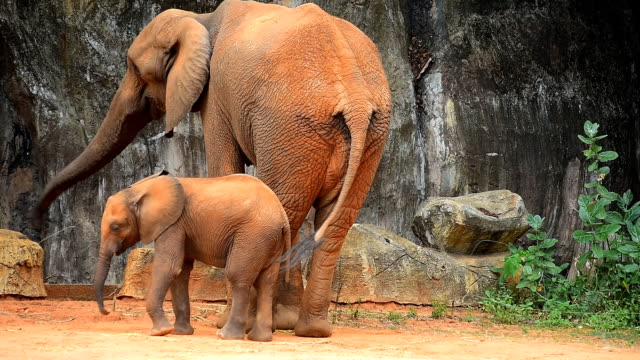 african elephants - zoo stock videos & royalty-free footage