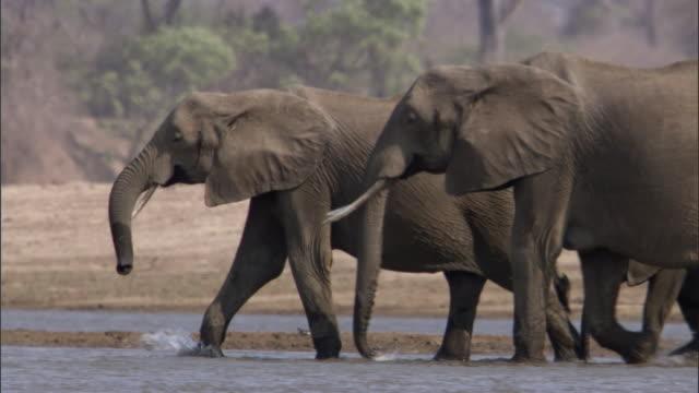 African elephants (Loxodonta africana) wade in river, Luangwa, Zambia