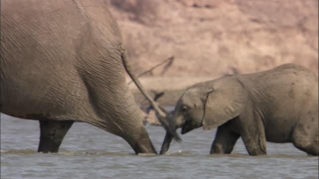 vidéos et rushes de african elephants (loxodonta africana) wade in river, luangwa, zambia - éléphanteau