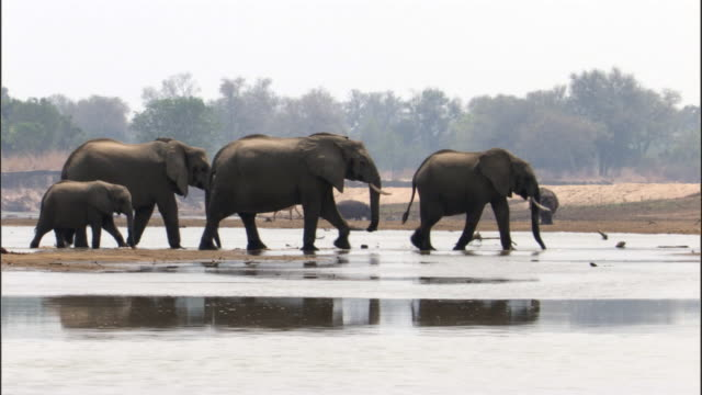 vidéos et rushes de african elephants (loxodonta africana) wade through river, luangwa, zambia - troupeau